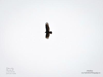 _C170176_Turkey vulture