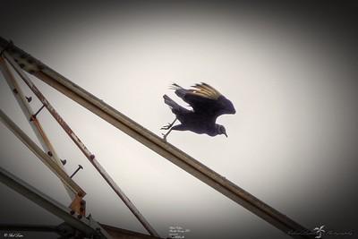 _011_black vulture_03222021