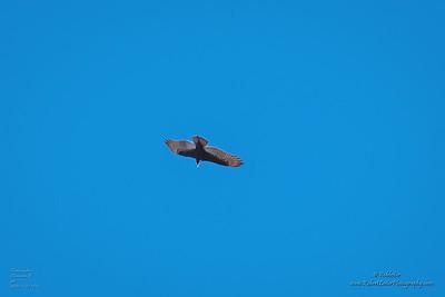 P1390286_ vulture