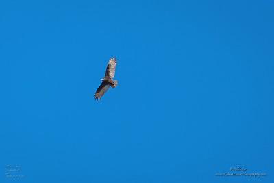 P1390314_ vulture