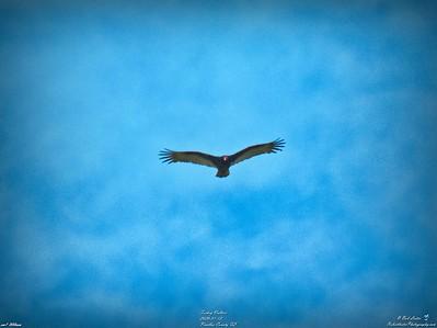 009_turkey vulture_2020-01-12