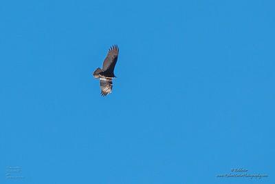 P1390275_ vulture