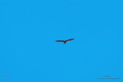 P1390266_ vulture