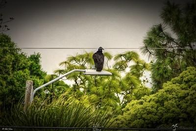 _023_black vulture_03222021