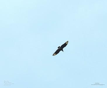 PC120375_ Black Vulture_  smooth2 nr150