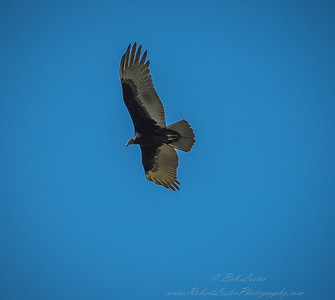 2019-01-19_40x150,pmode, Dogs in Paradise,Black Vulture_24