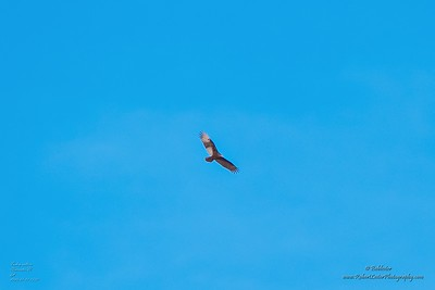P1390263_ vulture