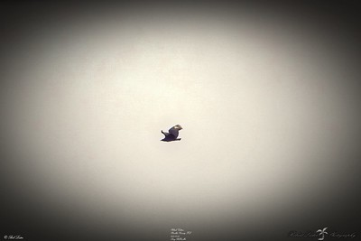 _032_black vulture_03222021
