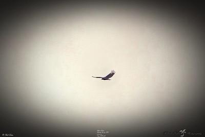 _031_black vulture_03222021