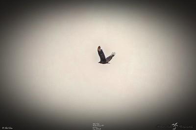 _033_black vulture_03222021