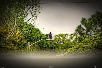 _025_black vulture_03222021