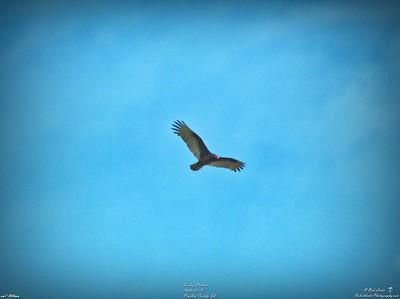 006_turkey vulture_2020-01-12
