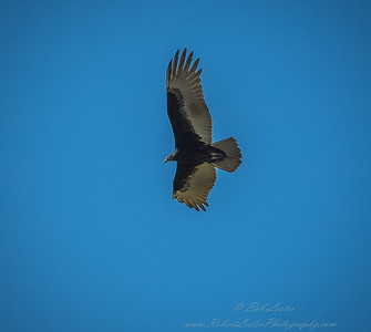 2019-01-19_40x150,pmode, Dogs in Paradise,Black Vulture_22