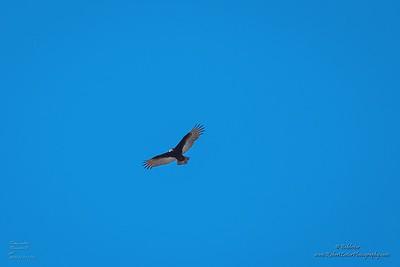 P1390302_ vulture