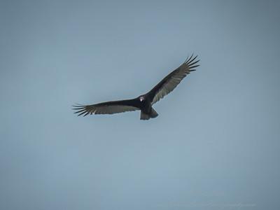 2019-02-16_ 300 1 4tc,ap,7 1,iso400,vulture  __2160001