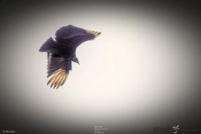 _012_black vulture_03222021