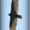 Turkey Vulture...Eagle Lake Park