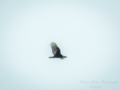 Turkey Vulture   (flowing r,exp)   2018-03-10-3100005