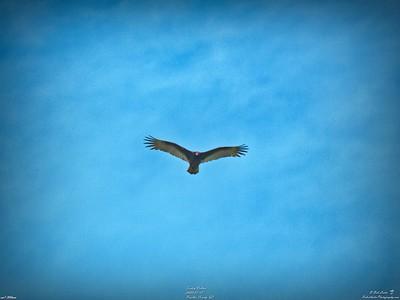 010_turkey vulture_2020-01-12