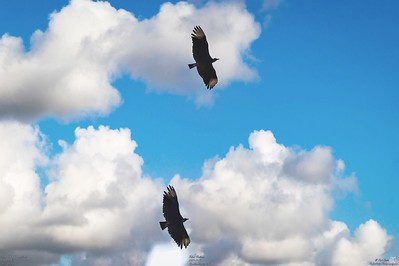 011_vultures_2021-06-04