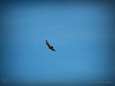 _B290007_vulture