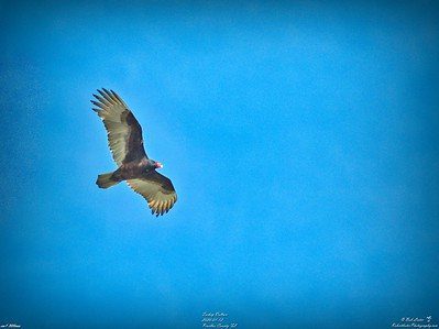 012_turkey vulture_2020-01-12