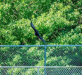 2019-01-19_40x150,pmode, Dogs in Paradise,Black Vulture_11