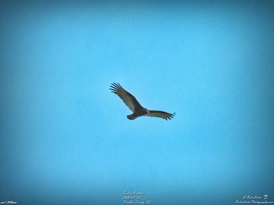 005_turkey vulture_2020-01-12