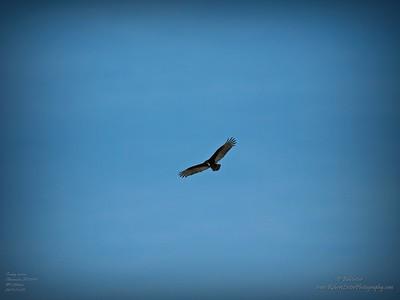 _B290005_vulture