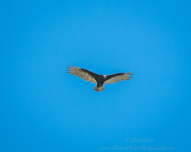 2018-10-30_PA300064_40x150_vulture