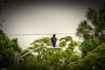 _022_black vulture_03222021
