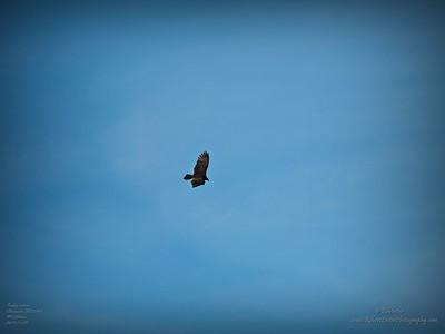 _B290004_vulture