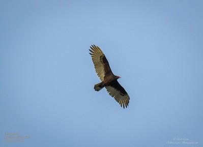 P1160039_ vulture