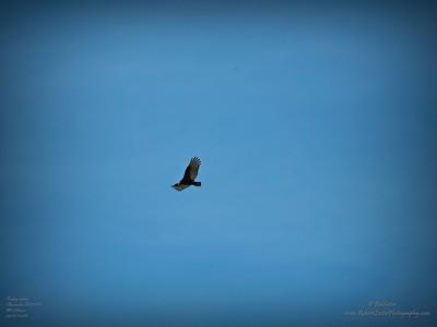 _B290006_vulture