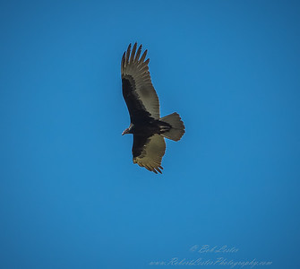 2019-01-19_40x150,pmode, Dogs in Paradise,Black Vulture_23