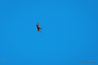 P1390316_ vulture