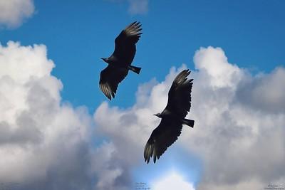 006_vultures_2021-06-04