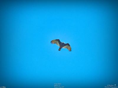 014_turkey vulture_2020-01-12