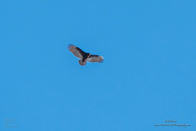 P1390276_ vulture