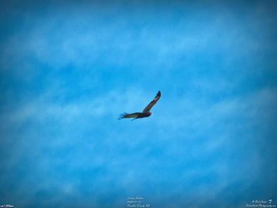 007_turkey vulture_2020-01-12