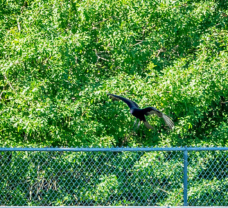2019-01-19_40x150,pmode, Dogs in Paradise,Black Vulture_13