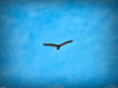 008_turkey vulture_2020-01-12