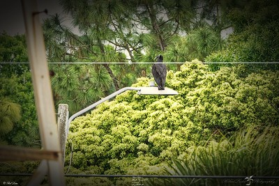 _018_black vulture_03222021