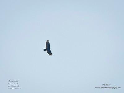 _C170178_Turkey vulture