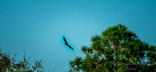 vulture  (am blu)   2018-02-15-2150001