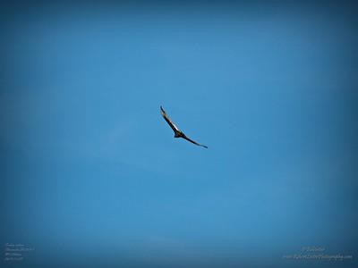 _B290003_vulture