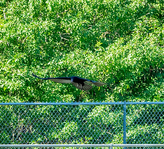 2019-01-19_40x150,pmode, Dogs in Paradise,Black Vulture_15