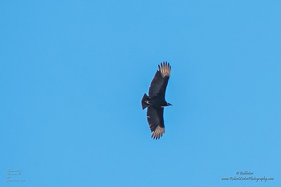 P1390278_ vulture