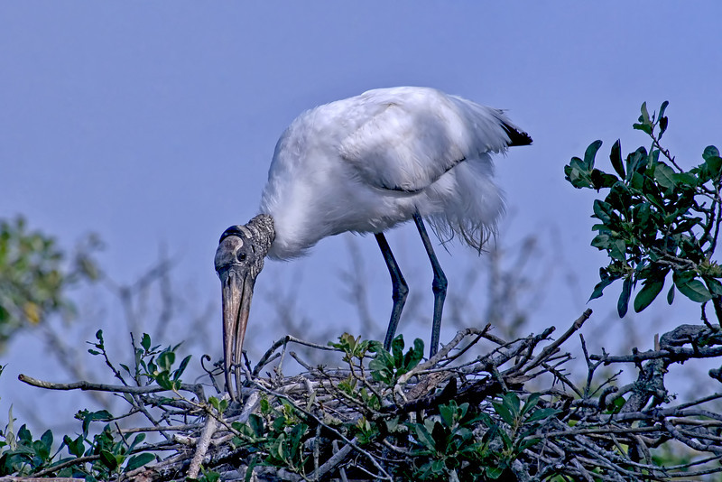 Nature photographer Jerry Dalrymple shares images of a rookery in Florida. These is a wood stork.