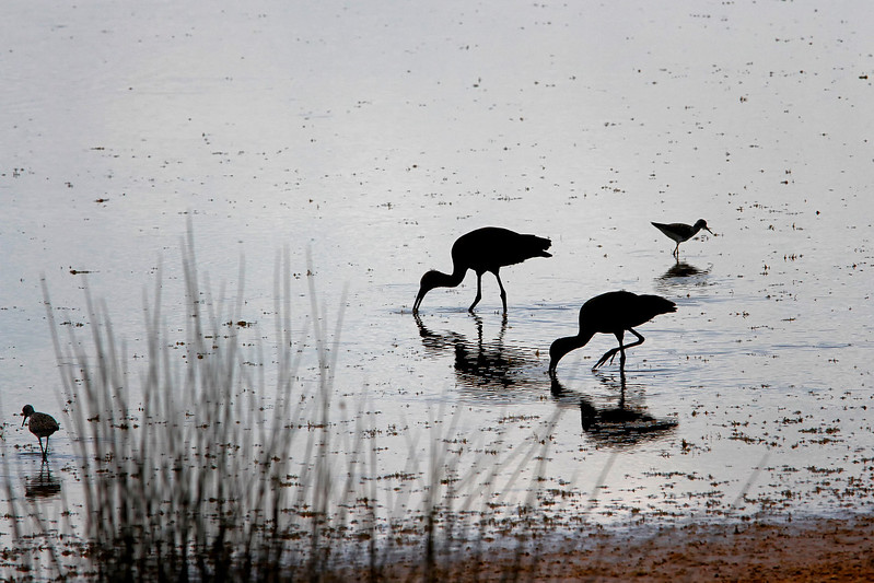 Nature Photographer Jerry Dalrymple shares images of a rookery in Florida. These are glossy ibis fishing in a swamp on Merritt Island, Florida